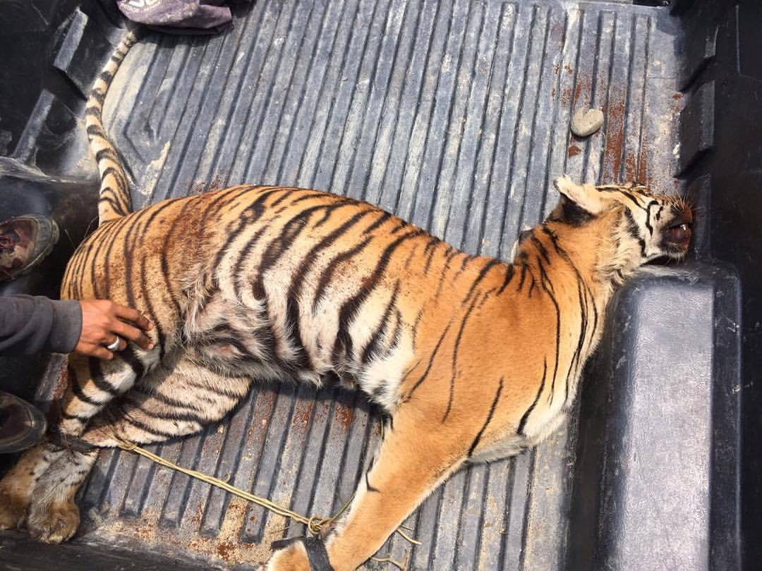 a Wildlife Poacher Arrested with Evidence of a Tiger Carcass
