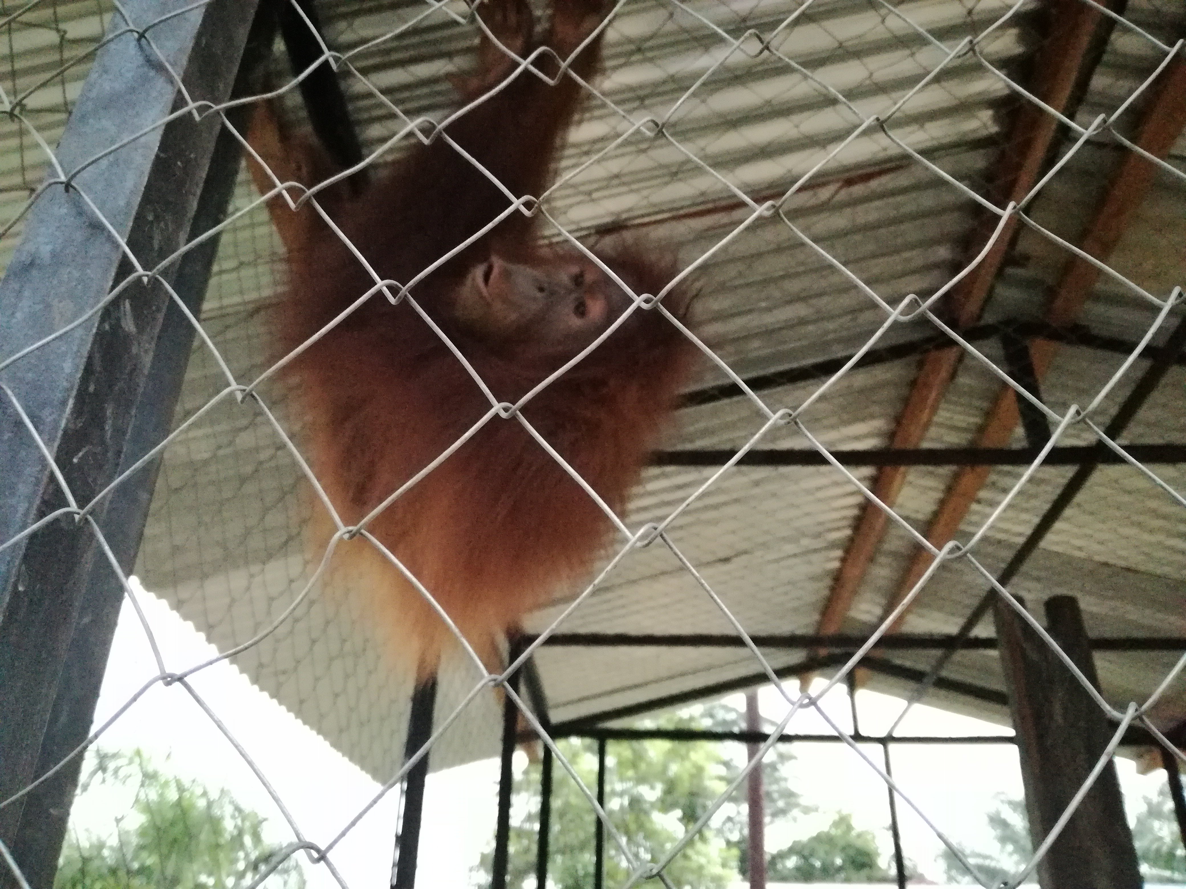 Second Chance at Life for Monik, a 4 Years Old Orangutan