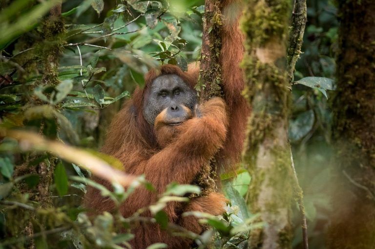 The Challenge of Tapanuli Orangutan's Conservation Continues
