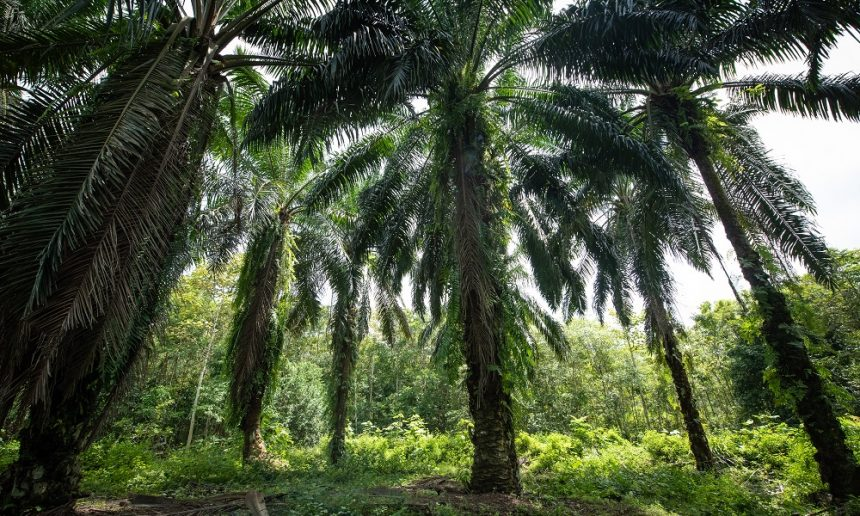The complexities of palm oil and deforestation