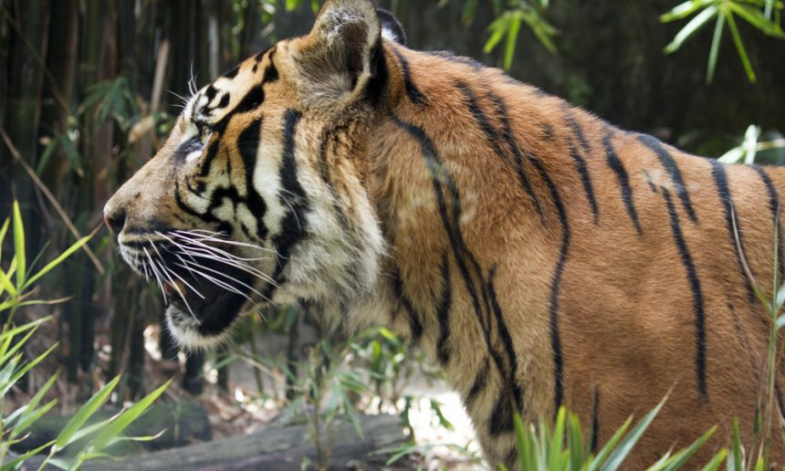 Tackling wildlife crime to keep tigers safe