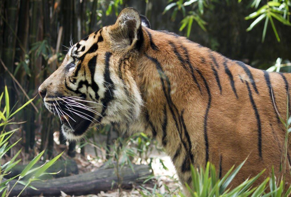 Tackling wildlife crime to keep tigers safe