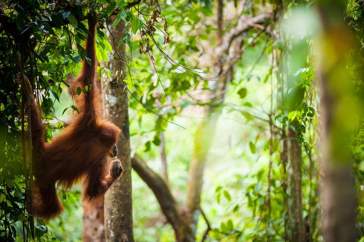 Double your donation for orangutans!