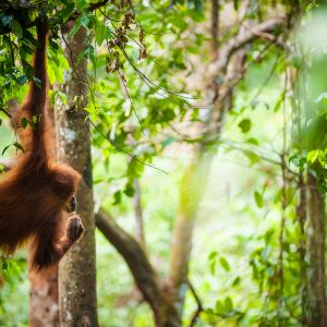 Double your donation for orangutans!