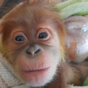 Saving a newborn orangutan
