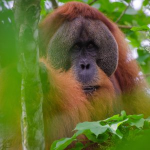 Orangutans have never been more at risk than they are right now.